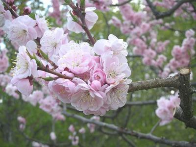 折り重なる花